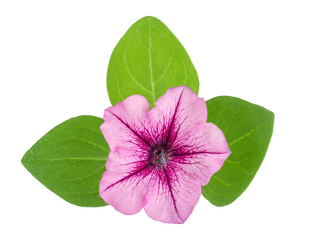 pink flower of petunia with green leaves isolated on white background Stock Photo