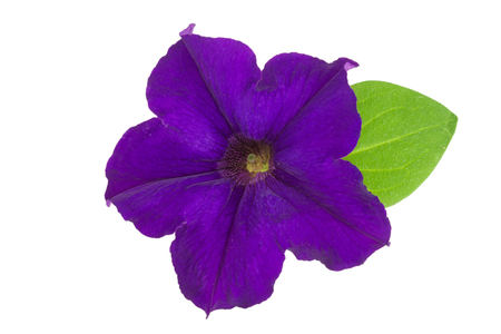 violet flower of petunia with green leaves isolated on white background Stock Photo
