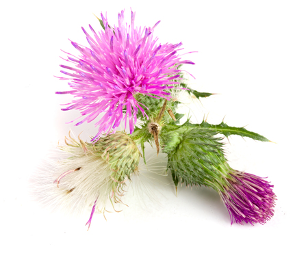 cotton bud: Flower thistle isolated on white background macro