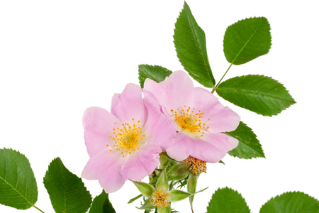 roze: Rosehip flowers with leaf isolated on white background
