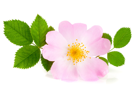 roze: Rosehip flower with leaf isolated on white background