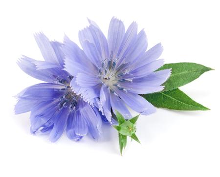 흰색 배경 매크로에 격리하는 리프와 치 코리 꽃 스톡 콘텐츠 - 83893752