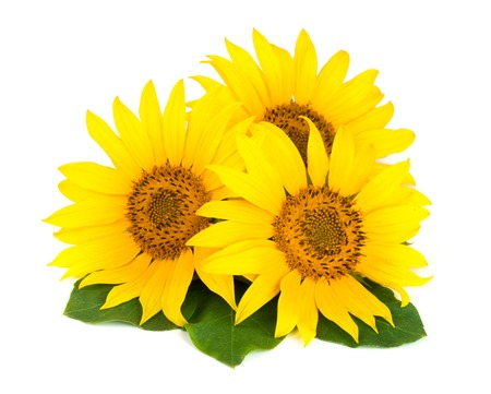 Three sunflowers with leaves isolated on white background.