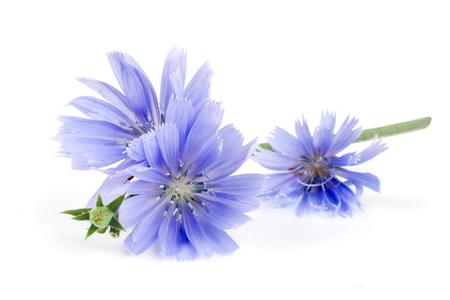 Witlofbloem met blad op witte macro wordt geïsoleerd die als achtergrond Stockfoto