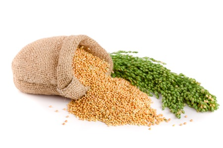 granule: Millet in a bag with green spikelets isolated on white background. Food for parrots.
