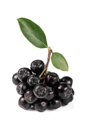 Chokeberry with leaf isolated on white background. Black aronia berries.