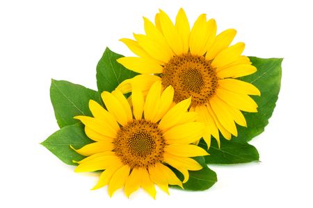 Two sunflowers with leaves isolated on white background Standard-Bild