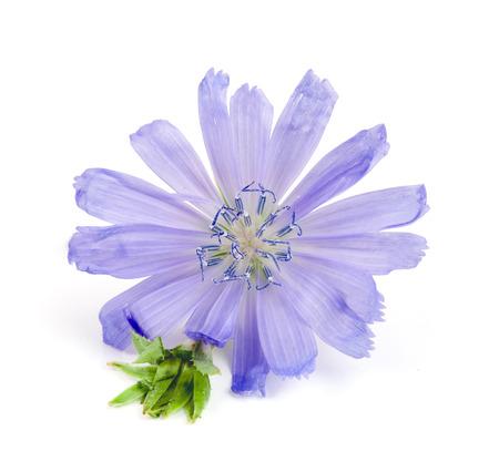 Chicory flower isolated on white background macro Stock Photo