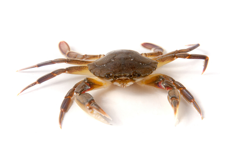 eight legs: edible alive crab isolated on a white background