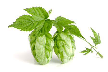 hop cone with leaf isolated on white background close-up Stock Photo