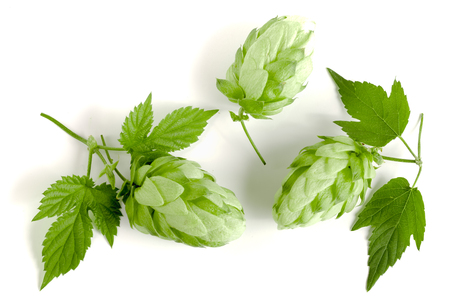brewery: hop cones with leaf isolated on white background close-up. Top view