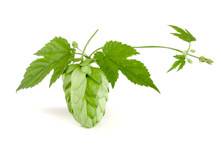 brewery: hop cone with leaf isolated on white background close-up Stock Photo