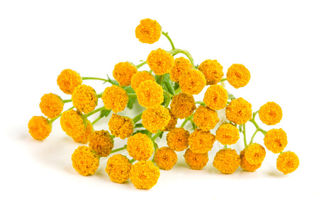tansy isolated on a white background. Medical herb
