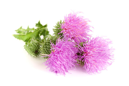 Flower thistle isolated on white background macro. Stock Photo