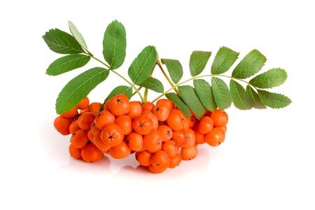 白い背景で隔離の葉とオレンジ色のローワン。 写真素材 - 85931783