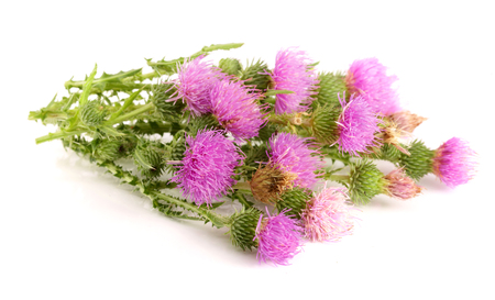 Flower thistle isolated on white background macro. 写真素材
