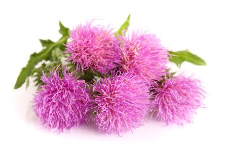 Flower thistle isolated on white background macro. Stock Photo