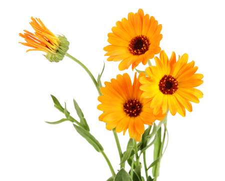 금 송 화 officinalis. 흰색 배경에 고립 된 리프와 메리 골드 꽃 스톡 콘텐츠