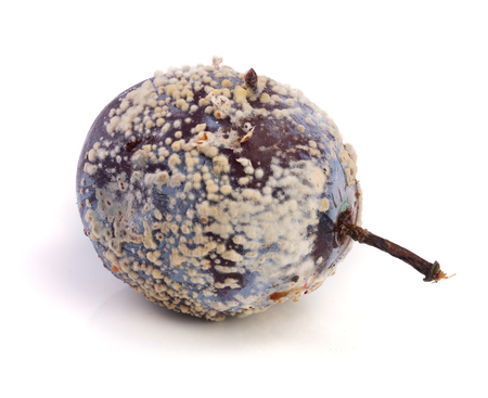 moldy plum isolated on white background closeup Stock Photo