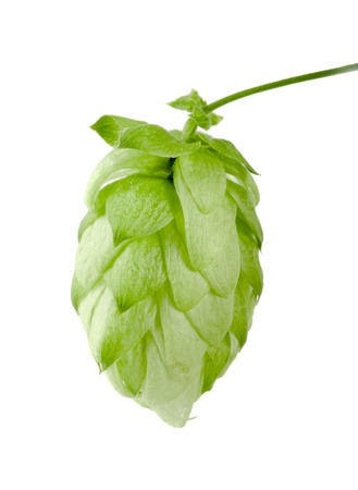 brewery: Hop cone isolated on white background closeup