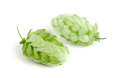 brewery: Hop cones isolated on white background closeup Stock Photo