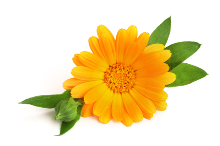 asteraceae: Calendula. Marigold flower with leaf isolated on white background