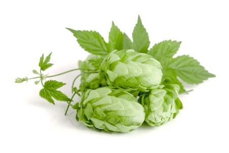 brewery: hop cones with leaf isolated on white background close-up.
