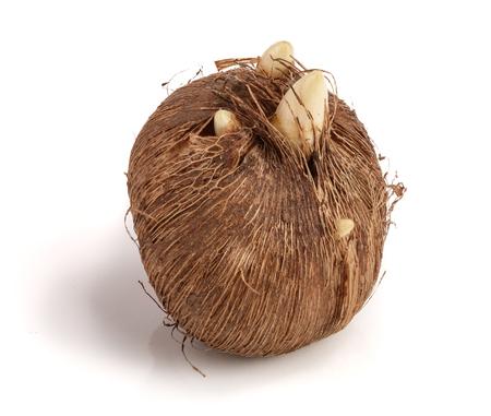 crocus bulb isolated on white background macro