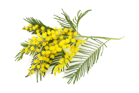 mimosa isolated on white background. Top view. Stock Photo