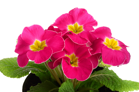 pink primula polyanthus isolated on white. spring primroses flowers
