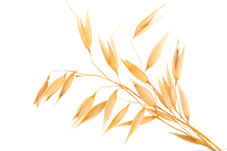 oat spike or ears isolated on white background close-up.