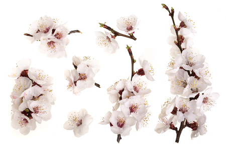 Branch with apricot flowers isolated on white background. Top view. Flat lay. Set or collection.