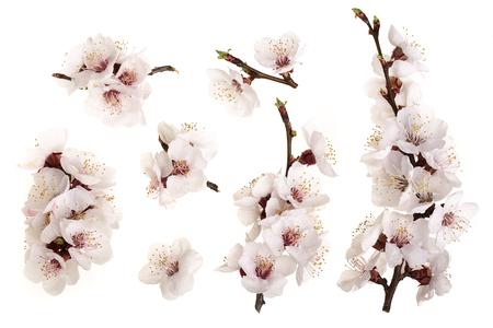 Ramo con fiori di albicocca isolati su sfondo bianco. Vista dall'alto. Lay piatto. Set o collezione.