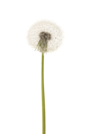 Old dandelion isolated on white background closeup.