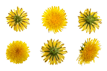 Dandelion flower or Taraxacum Officinale isolated on white background. Top view. Flat lay pattern. Stock Photo