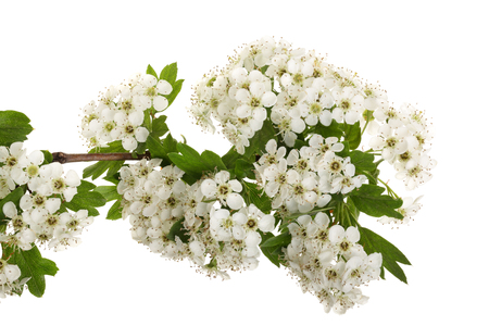 Hawthorn or Crataegus monogyna branch with flowers isolated on a white background.