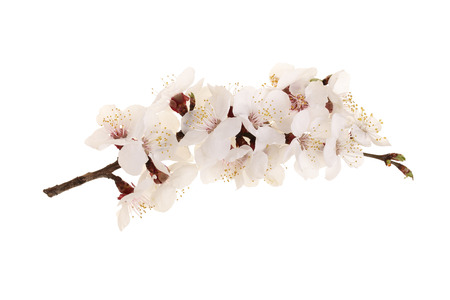 Branch with apricot flowers isolated on white background. Top view. Flat lay.