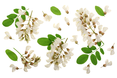 Blossoming acacia with leafs isolated on white background, black locust, Acacia flowers, Robinia pseudoacacia . White acacia.