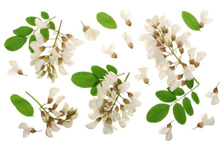 Blühende Akazie mit Blättern lokalisiert auf weißem Hintergrund, Robinie, Akazienblüten, Robinia pseudoacacia. Weiße Akazie.