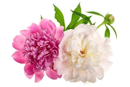 peony flower isolated on white background close up Stockfoto