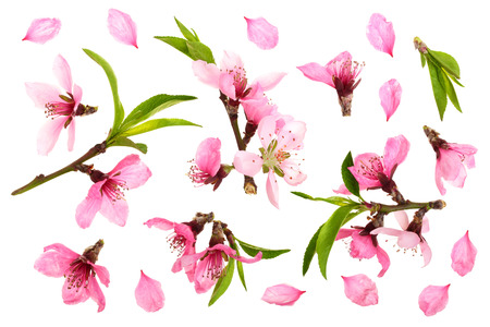 Cherry blossom, sakura flowers isolated on white background. Top view. Flat lay pattern.