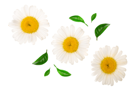 Three chamomile or daisies with leaves isolated on white background. Top view. Flat lay.