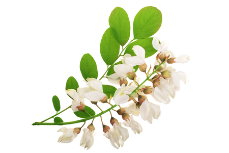 Blossoming acacia with leafs isolated on white background, black locust, Acacia flowers, Robinia pseudoacacia . White acacia.