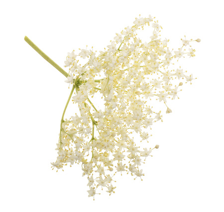 Elder flower blossoms isolated on a white background. Medicinal plant. Stock Photo