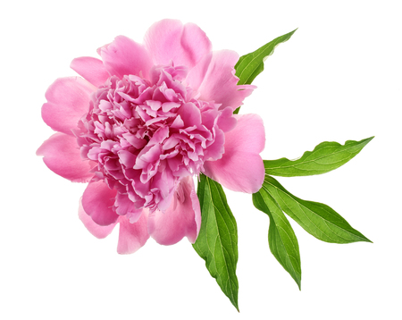 pink peony flower isolated on white background close up.