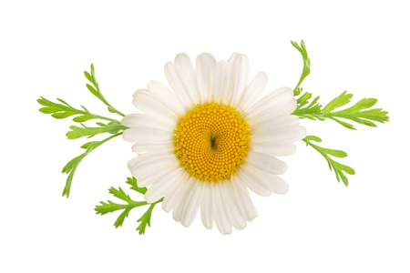 chamomile or daisies with leaves isolated on white background. Top view. Flat lay.