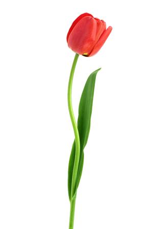 tulipanes rojos aislados sobre fondo blanco. Vista superior. Patrón de endecha plana.