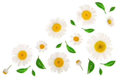 chamomile or daisies with leaves isolated on white background with copy space for your text. Top view. Flat lay