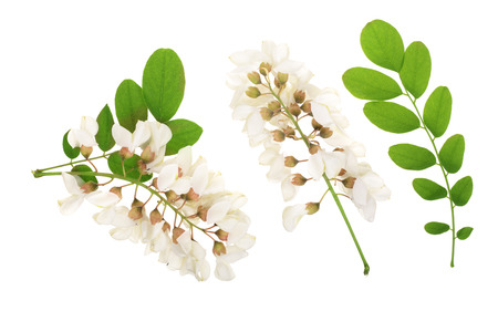 Blossoming acacia with leafs isolated on white background, Acacia flowers, Robinia pseudoacacia . White acacia Zdjęcie Seryjne