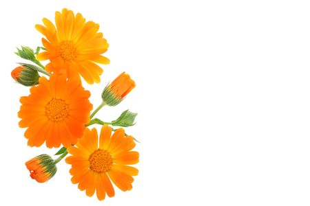 Calendula. Marigold flower isolated on white background with copy space for your text Zdjęcie Seryjne